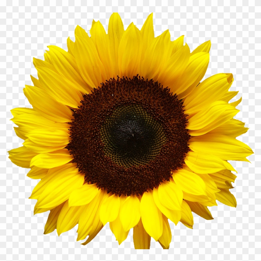 Free Png Download Sunflowers Png Images Background.