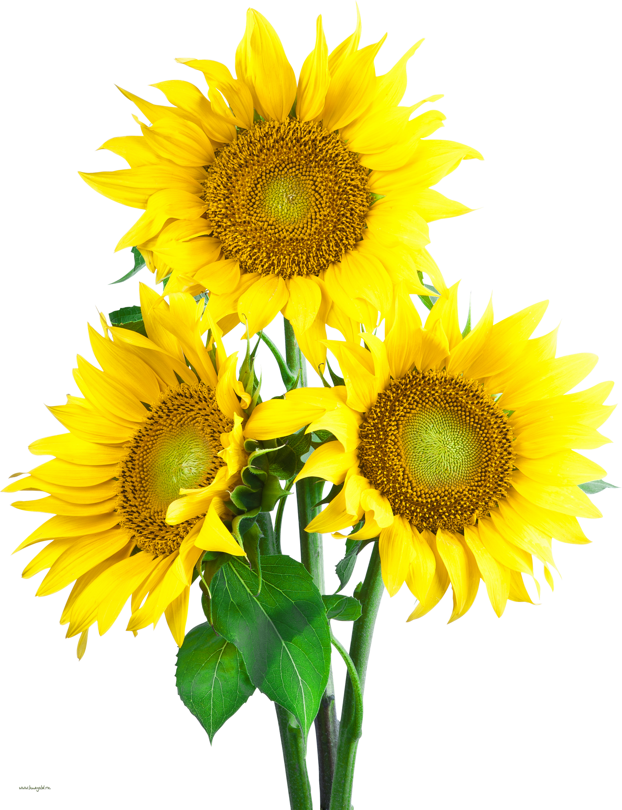 Sunflower PNG Image.
