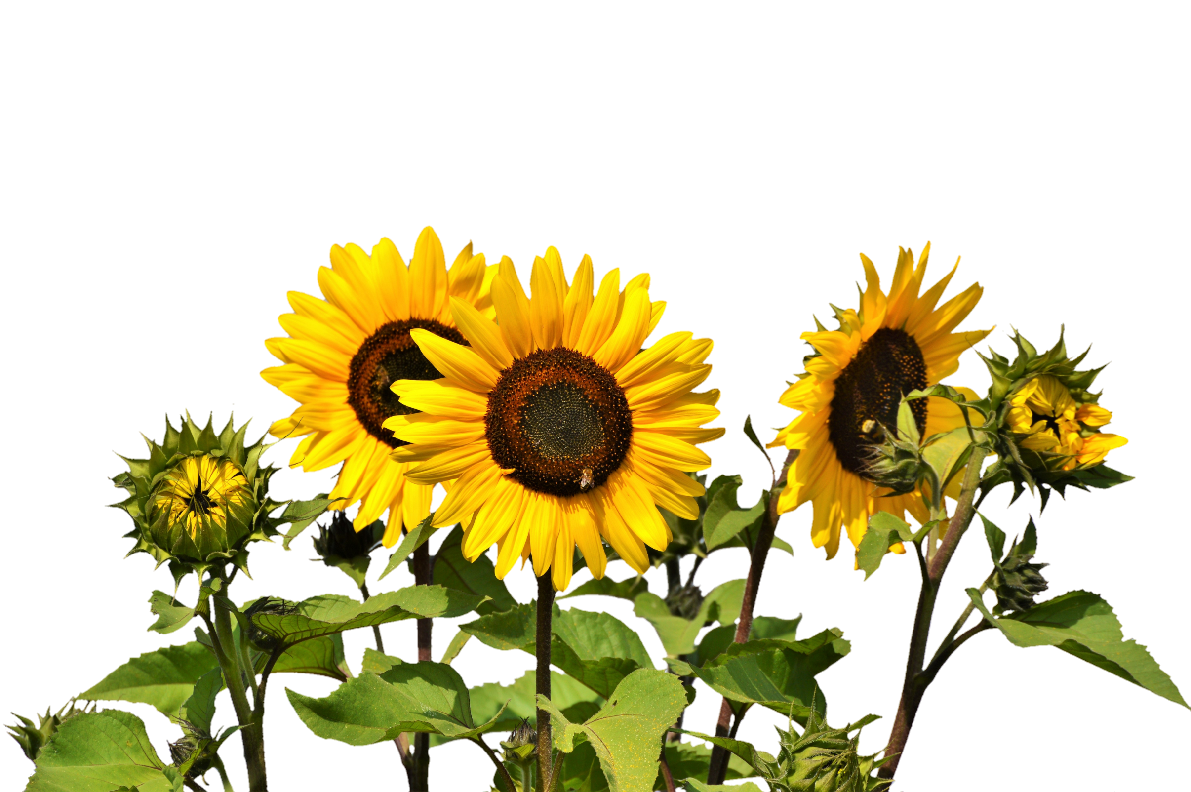 Sunflowers PNG Image.