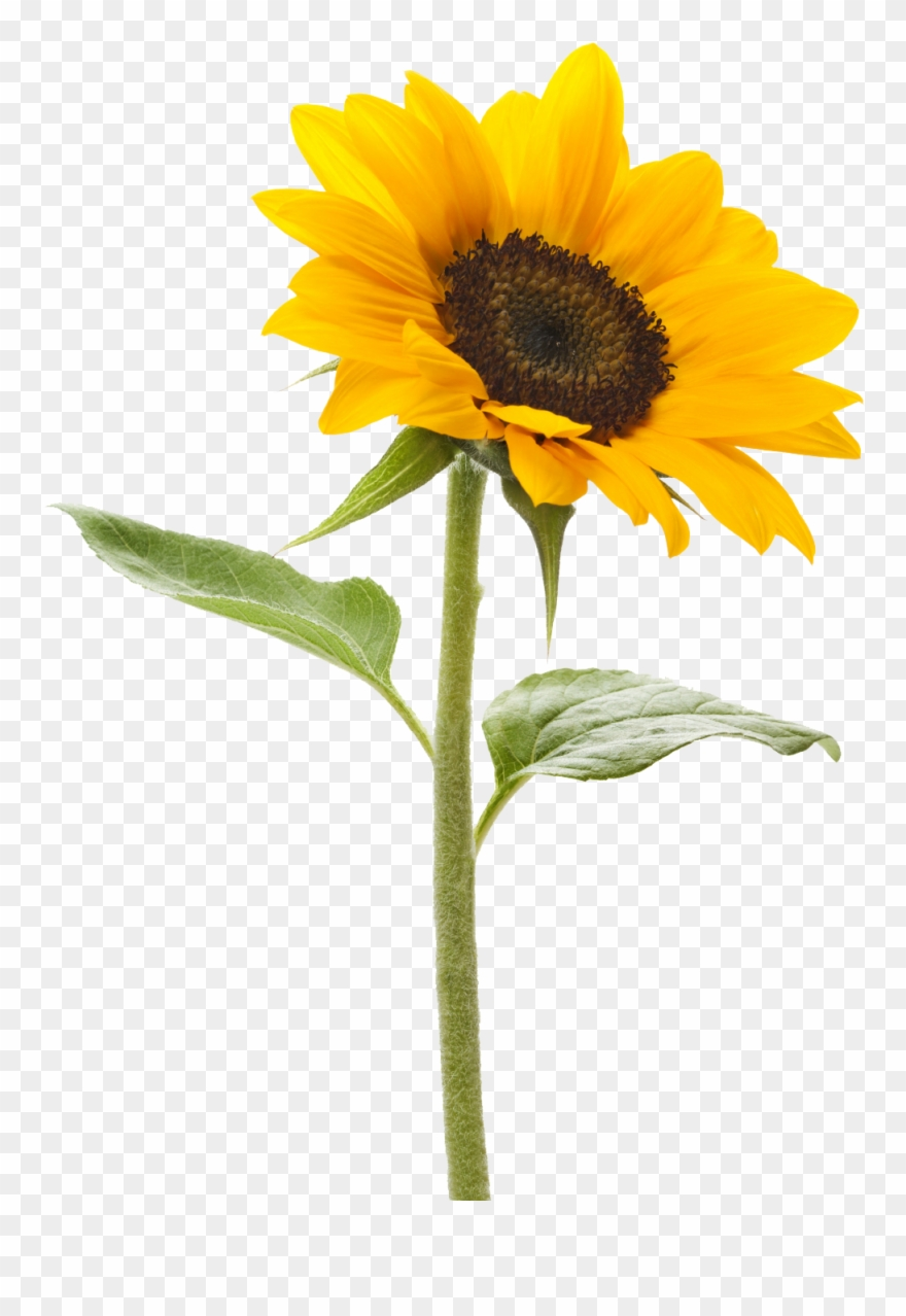 Royalty Free Sunflower Png Images Free Download Pngmart.