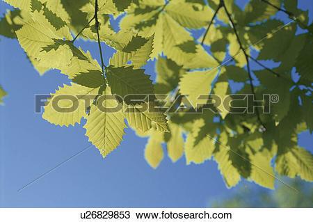 Stock Photo of Sunlight Through Leaves u26829853.
