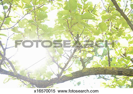 Stock Image of Sunlight through leaves in summer x16570015.