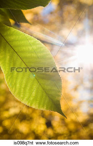 Stock Images of Sunlight and leaf is098q7nt.