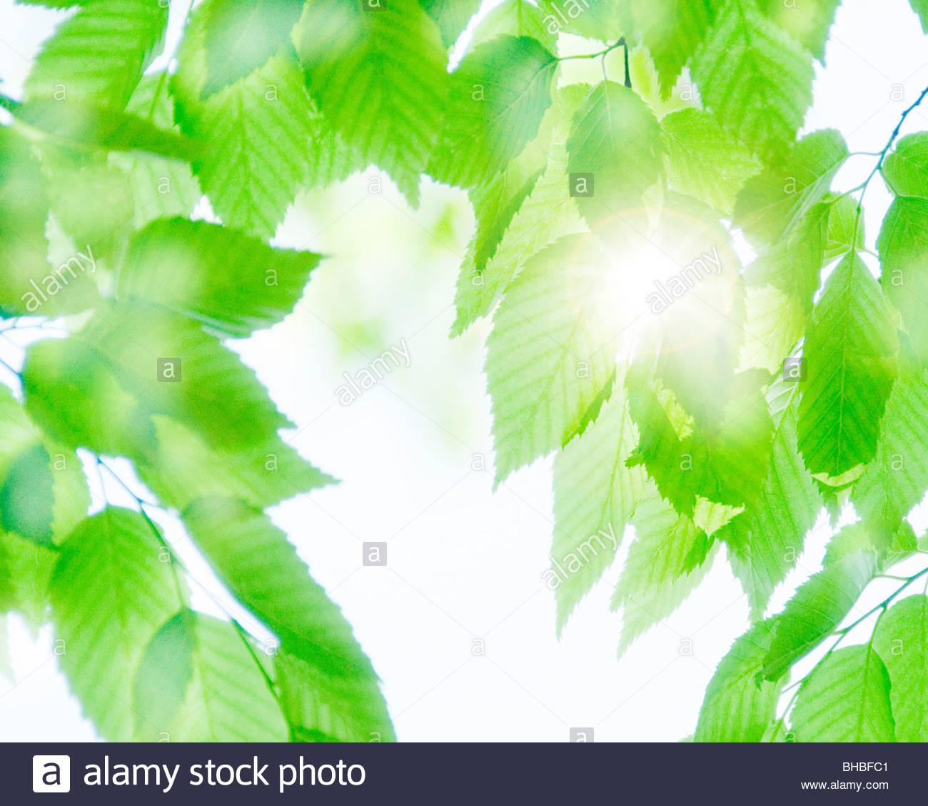 Sunlight Falling On Fresh Green Leaves Stock Photo, Royalty Free.