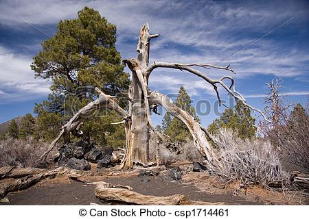 Stock Photography of Burnt tree at Sunset Crater National Monument.