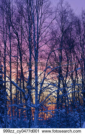 Stock Photography of Sunset glow behind a birch forest in Russian.