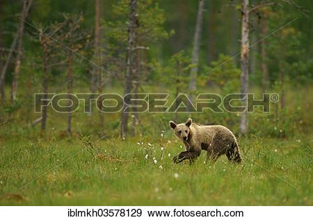 "Stock Photograph of ""Brown Bear (Ursus arctos), cub, Suomussalmi."