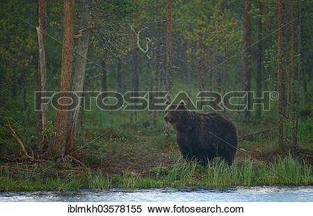 """Stock Image of """"Brown Bear (Ursus arctos), Suomussalmi, Kainuu."""