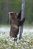 "Stock Image of ""Brown Bear (Ursus arctos), cub, Suomussalmi."