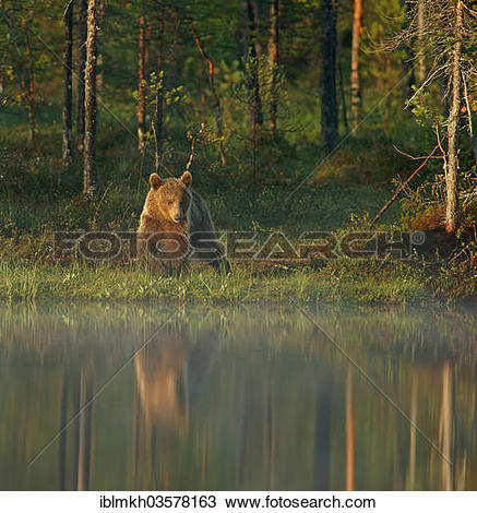 """Stock Photo of """"Brown Bear (Ursus arctos), Suomussalmi, Kainuu."""