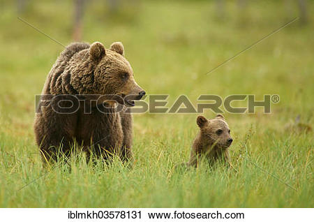 "Stock Photography of ""Brown Bears (Ursus arctos), female with a."