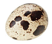 Stock Photography of One quail eggs isolated on white super macro.