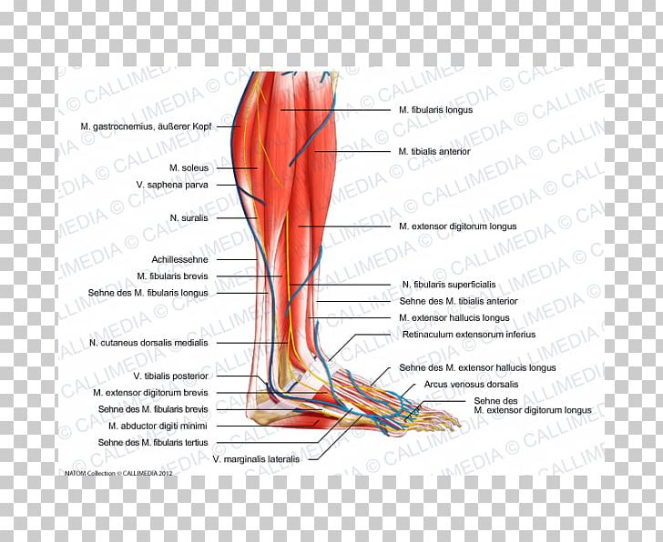 Superficial Peroneal Nerve Human Leg Crus Vein PNG, Clipart.