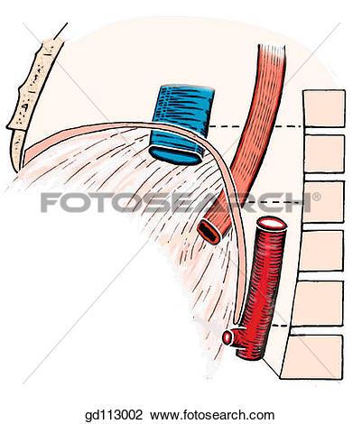 Clip Art of Diaphragm at levels T8.