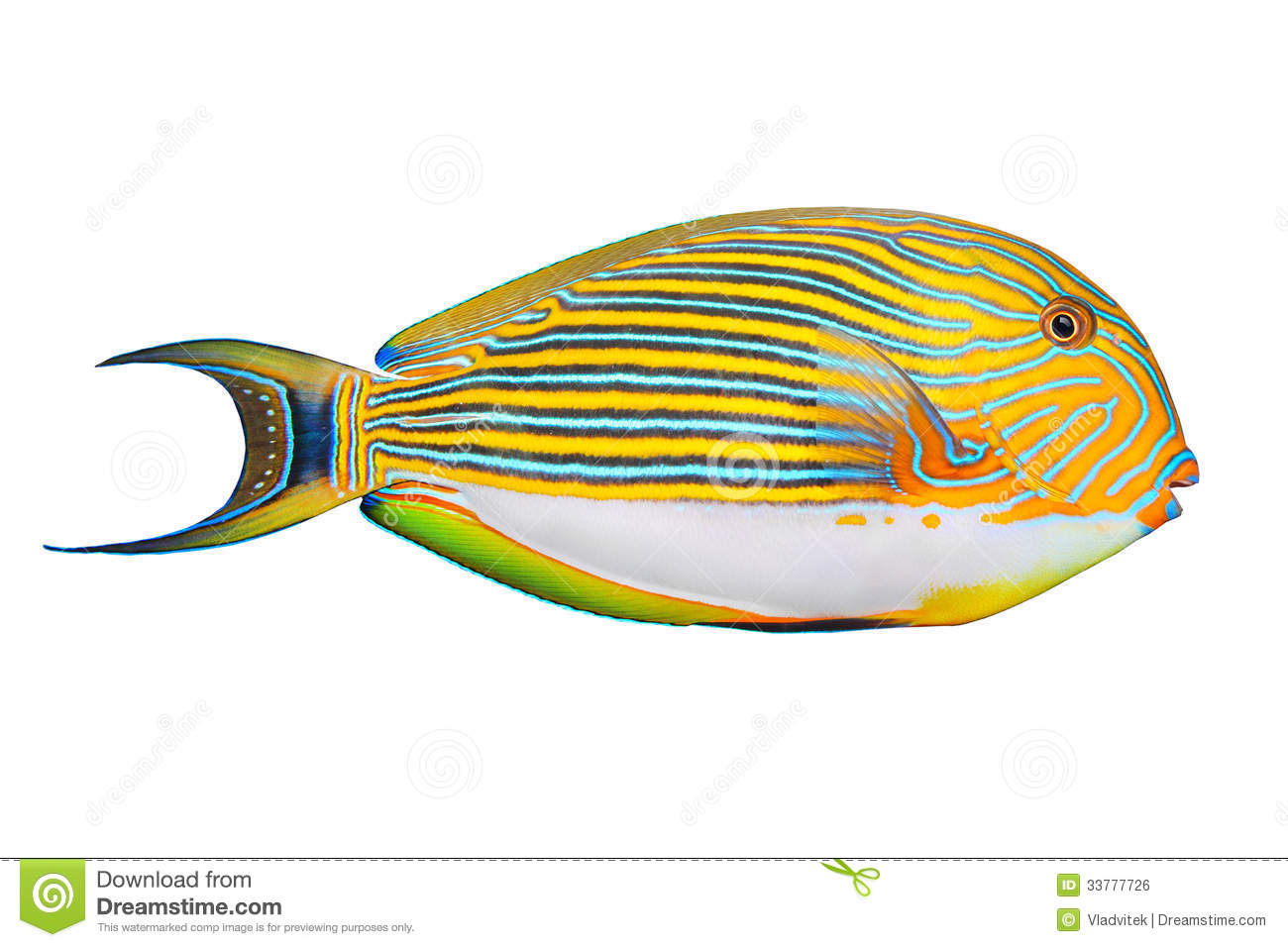 The Clown Surgeonfish (Acanthurus Lineatus). Royalty Free Stock.