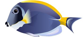 Surgeonfish Stock Illustrations.