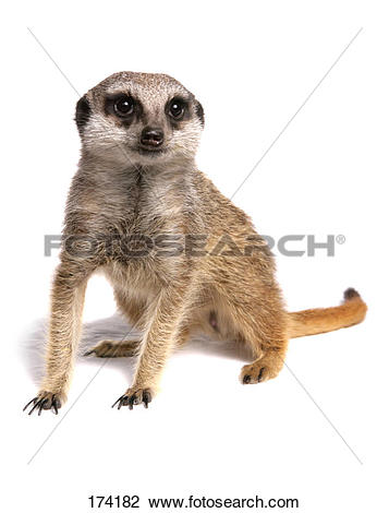 Stock Photo of Suricate, Slender.