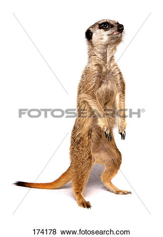 Pictures of Suricate, Slender.