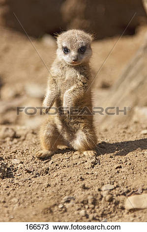 Stock Photo of Meerkat.