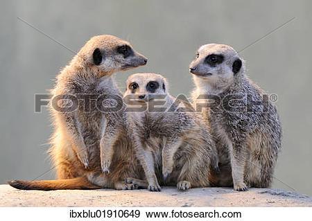 Stock Photograph of Meerkats (Suricata suricatta) ibxblu01910649.