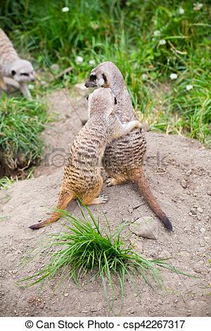 Stock Photography of Meerkat, Suricata, suricatta also known as.