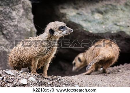 Stock Photography of Pair of Meerkats (Suricata suricatta.
