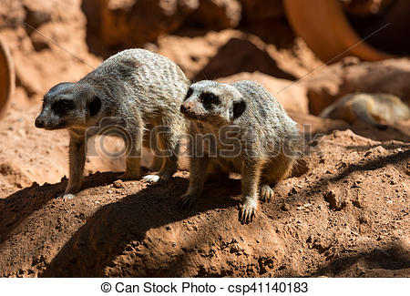 Pictures of Meerkat stands guard (Suricata suricatta) csp41140183.