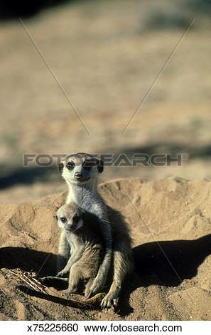 Stock Photography of meerkat, suricata suricatta, female.