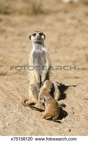 Stock Photography of suricate (meerkat): suricata suricatta pups.