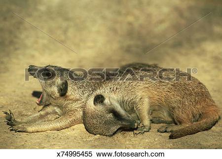 Stock Image of meerkat, suricata suricatta, yawner & sleeper, zoo.