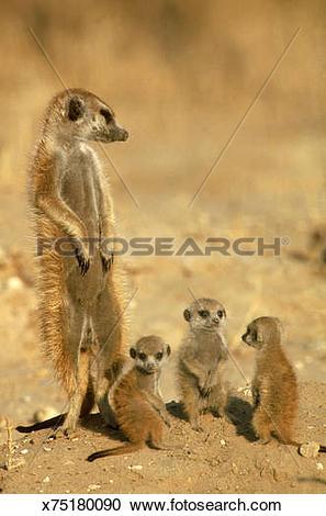 Stock Photography of meerkat suricata suricatta young and.