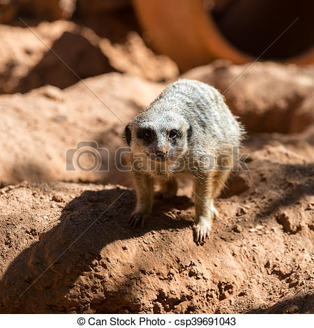 Stock Photo of Meerkat stands guard (Suricata suricatta.