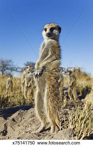Stock Photography of Suricate / Meerkat (Suricata suricatta.