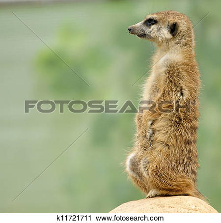Stock Photography of The meerkat or suricate (Suricata, suricatta.
