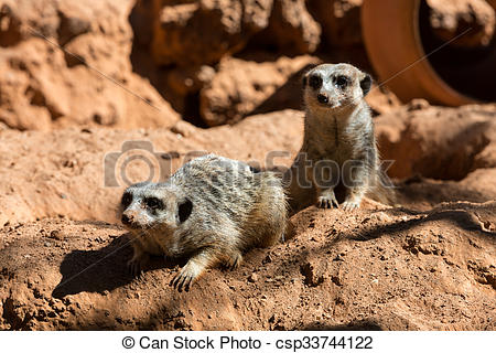 Stock Photo of Meerkat stands guard (Suricata suricatta).