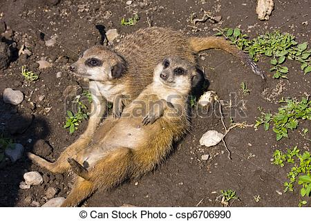 Stock Photography of Meerkat (Suricata suricatta).