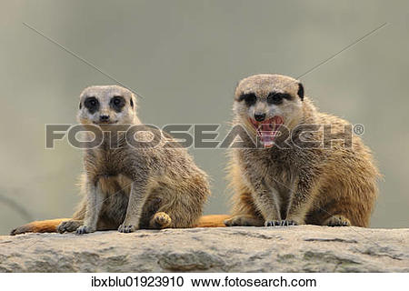 Stock Photography of Meerkats (Suricata suricatta) ibxblu01923910.