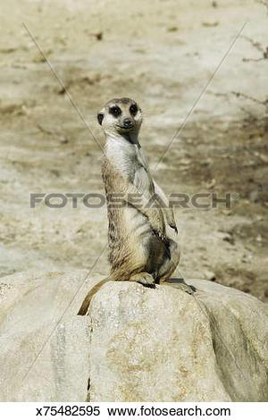 Stock Image of meerkat Suricata suricatta x75482595.