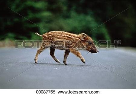Stock Image of Juniors, Sus, Sus scrofa, animal, animals, avenue.