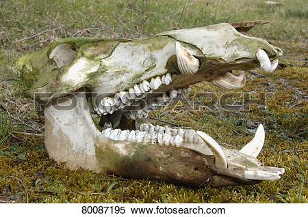 Stock Image of DEU, 2007: Wild Boar (Sus scrofa), skull of male.