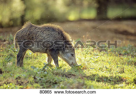 Stock Image of Wild boar.