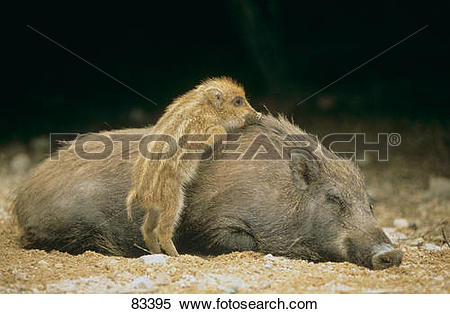 Stock Image of Wild boar with a shote / Sus scrofa 83395.