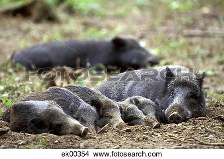Stock Photo of wild boars, Sus scrofa Linnaeus ek00354.