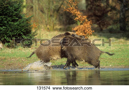 Stock Photo of wild boar.