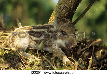 Stock Photography of wild boar.