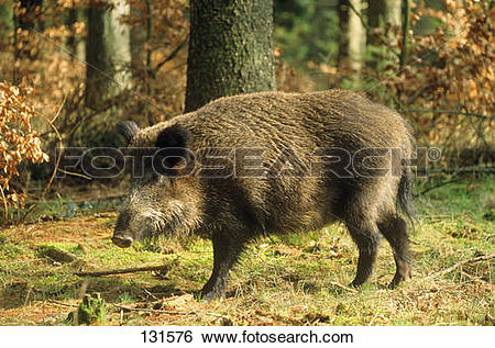 Stock Images of wild boar.