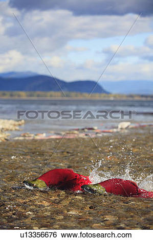 Stock Images of Sockeye salmon run up the mouth of the Adams River.