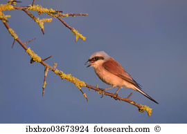 Shrike Images and Stock Photos. 667 shrike photography and royalty.