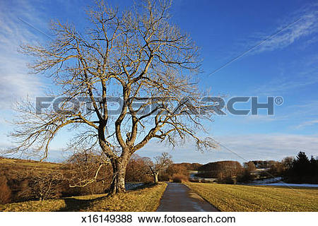Pictures of Beech tree on the Swabian Alb x16149388.