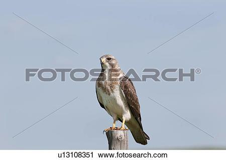 Stock Photography of Swainson's hawk (Buteo swainsoni), near.